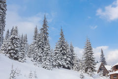 Spruce Tree Forest Covered by Snow in Winter Royalty Free Stock Photo
