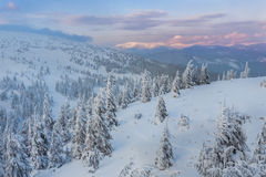 Spruce Tree Forest Covered by Snow in Winter Royalty Free Stock Photos