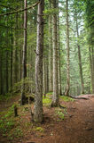 Spruce Tree Forest Royalty Free Stock Photos