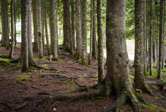 Spruce Tree Forest Royalty Free Stock Images