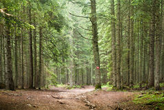 Spruce Tree Forest Stock Image