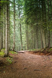 Spruce Tree Forest Royalty Free Stock Photography