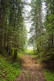 Spruce Tree Forest Stock Images