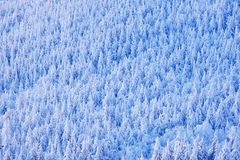 Spruce tree forest with snow, ice and rime. Pink morning light before sunrise. Winter twilight, cold nature in forest. Orlicke hor. Y, Czech republic Stock Images