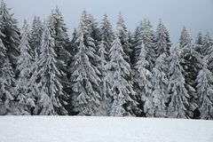 Spruce tree in forest by snowy winter stock photo