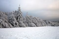 Spruce tree in forest by snowy winter royalty free stock photography