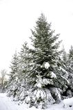 Spruce tree forest in winter Royalty Free Stock Photos