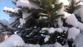 Spruce tree with fresh snow stock video footage