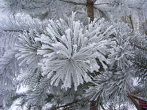 Spruce tree with fresh snow. Macro Royalty Free Stock Photos