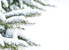 Spruce tree with fresh snow Stock Image