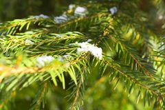 They are also used by the larvae of gall adelgids Adelges species. A spruce is a tree of the genus Picea a genus of about 35 species of coniferous evergreen Royalty Free Stock Image