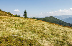 Spruce tree on a grassy meadow near the mountain peak. Warm and calm weather under the blue sky with  some clouds in early autumn day Stock Photography