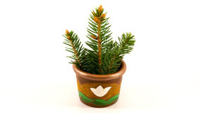 Spruce tree growing in tiny pot. Branches of spruce tree growing in tiny, ceramic pot. Isolated on white background Royalty Free Stock Image