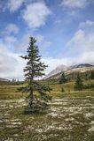 Spruce tree in summer Royalty Free Stock Photos