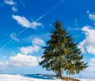 Spruce tree on hillside on fine winter weather. Beautiful nature scenery under blue sky with some clouds Stock Photography