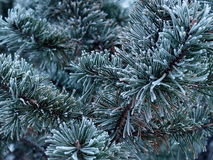 Spruce Tree With Hoar Frost Stock Image
