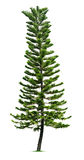 Spruce tree Royalty Free Stock Photo