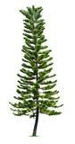 Spruce tree. Isolated on white background Royalty Free Stock Photo