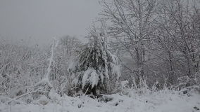 Spruce tree with many cones in a snowstorm. Grey and stormy winter day stock video footage