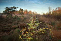 Spruce tree on marsh in autumn Royalty Free Stock Images