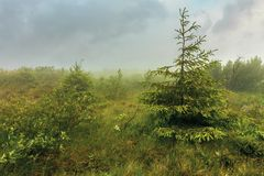 Spruce tree on a meadow in fog royalty free stock photos