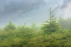 Spruce tree on a meadow in fog stock photo