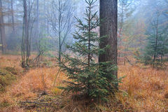 Spruce tree in misty forest Stock Photos