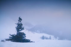 Spruce tree on mountain top at foggy sunrise Royalty Free Stock Image