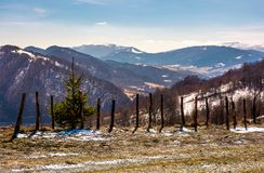 Spruce tree near the fence on a hillside. In springtime. beautiful landscape with grassy weathered slopes and some snow in mountains stock photography