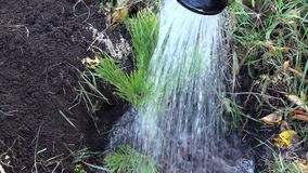 Spruce Tree Planting And Watering HD stock video