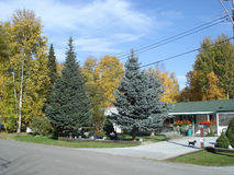 Spruce tree scenic. Pleasant little country neighborhood of many trees Royalty Free Stock Photography