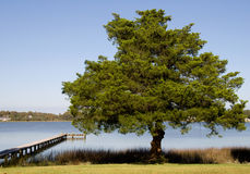 Spruce tree by sea Royalty Free Stock Image