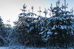 Spruce tree with snow Royalty Free Stock Photo