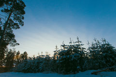 Spruce tree with snow Royalty Free Stock Photos