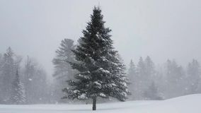 Spruce Tree in Snow Storm. Video showing a nice spruce tree, lightly covered in snow, moving in the wind during a snow storm stock video