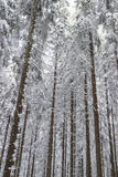 Spruce tree in snow woods Royalty Free Stock Photos