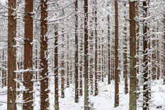 Spruce tree in snow woods Stock Photo