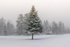 Spruce Tree on Snowy Landscape. Northern spruce tree on snowy landscape during winter storm royalty free stock photography