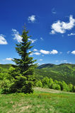 Spruce tree spring nature Stock Images