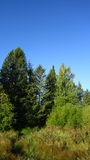 Spruce tree and swamp Royalty Free Stock Photos