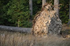 A spruce tree tree ripped from roots in a forest . Stock Images