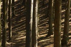 Spruce tree trunks stock photos