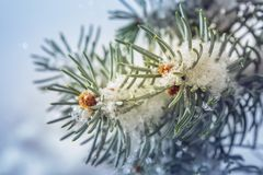 Spruce tree twig in winter Royalty Free Stock Image