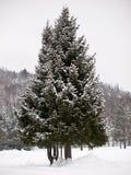 Spruce tree in winter Stock Photo