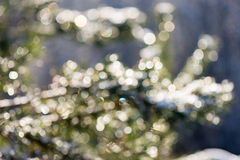 Spruce tree in winter with abstract blur boke in sunlight Royalty Free Stock Photography