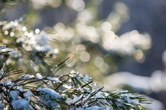 Spruce tree in winter with abstract blur boke in sunlight Stock Images
