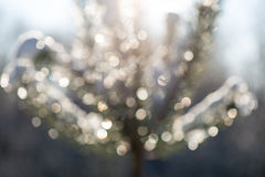Spruce tree in winter with abstract blur boke in sunlight Royalty Free Stock Images