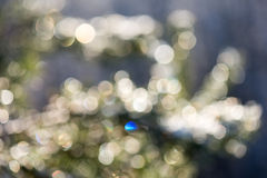 Spruce tree in winter with abstract blur boke in sunlight Stock Image