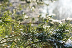 Spruce tree in winter with abstract blur boke in sunlight Stock Photos