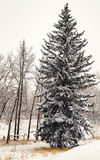 Spruce Tree in winter Royalty Free Stock Photo